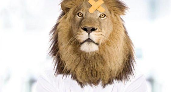 lion avec pansement