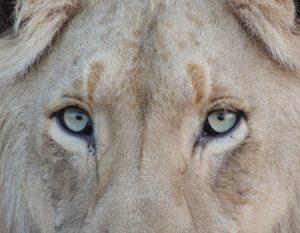 gros plan tête de lion